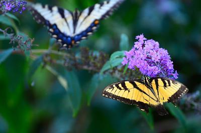 Appalachian Tiger Swallowtail Eastern tiger swallowtail