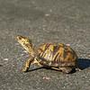 Turtle on a journey, Breton Bay, Leonardtown, MD, April 26, 2009.