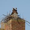 Homemakers. Osprey nesting on a chimney, Breton Bay, Leonardtown, MD, April 26, 2009.