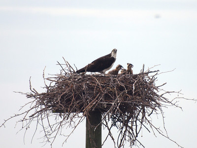 Osprey and three chicks, all looking good.  Breton Bay, Leonardtown, MD, May 24, 2009.