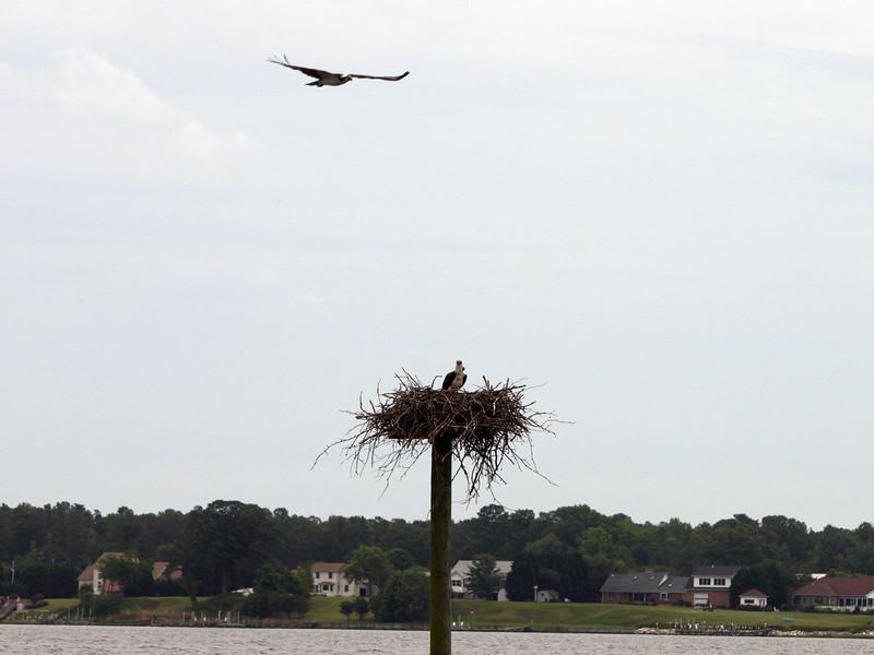 Osprey with a purpose. Breton Bay, Leonardtown, MD, May 24, 2009.