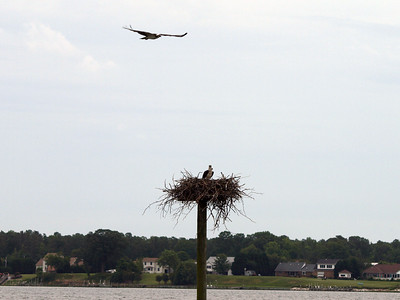 Osprey with a purpose. Breton Bay, Leonardtown, MD, May 24, 2009.