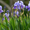 Homage to Vincent Van Gogh: Iris in the wind