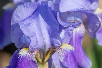 Old Man Iris