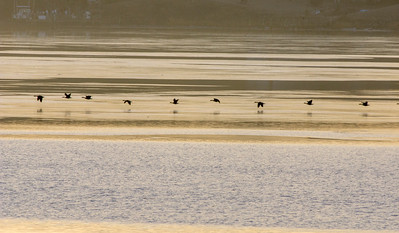 Golden morning geese