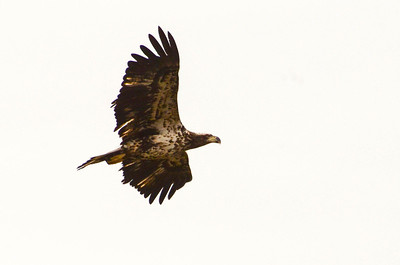 Loving my field guide, which identifies this as a 2nd Year Bald Eagle.