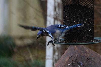 Blue Jay flies away.