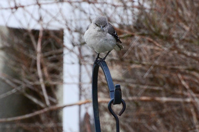 Northern Mockingbird, cold.