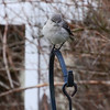 Northern Mockingbird, cold.
