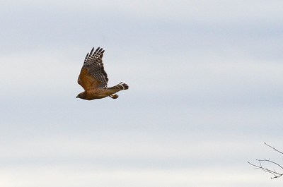 Eastern Red-Shouldered Hawk, right out of the field guide.