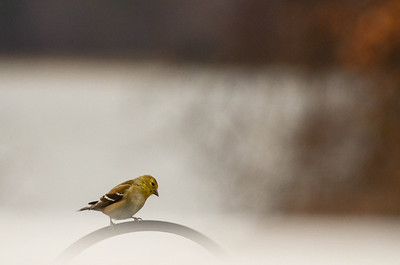 So little! Is this an American Goldfinch (female) or a Yellow House Finch? Family authorities differ. What say you?