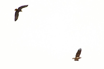 They circled each other aggressively for a while, then they were joined by a second adult, then all flew out of sight.