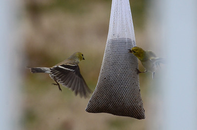 American Goldfinches, females. Didn't see any males. The seeds they are going for are tiny, like grains of sand.