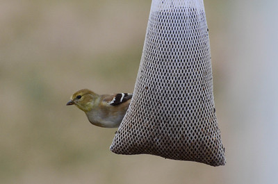 American Goldfinch, female. That's Mrs. Goldfinch to you.