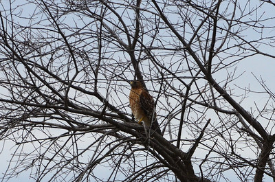 The Eastern Red-Shouldered Hawk loudly announced his arrival, then wondered why all the little birds suddenly disappeared. Or perhaps not.