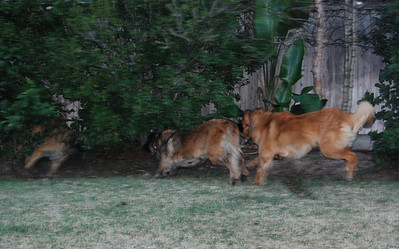 Faith, Vegas, and Kellie running circles and cutting through the bushes