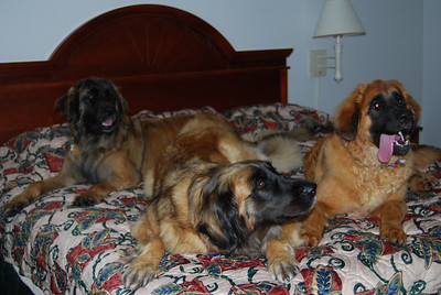 Sienna, Faith and Kellie all on the bed at the LaQuinta.  Good googa mooga...would you look at Kellie's tongue!