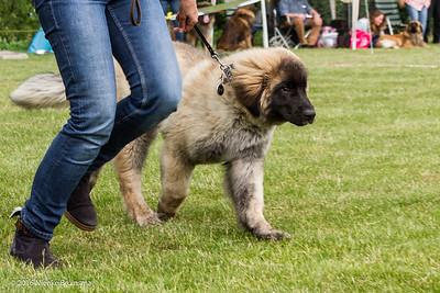 2016_06-12 Leonberger Honden Club Nederland 50 jaar-8365