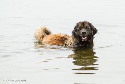 2016_06-12 Leonbergers having FUN_kl-8749