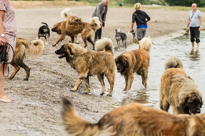 2016_06-12 Leonbergers having FUN_kl-8620