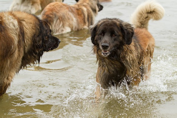 2016_06-12 Leonbergers having FUN_kl-8623