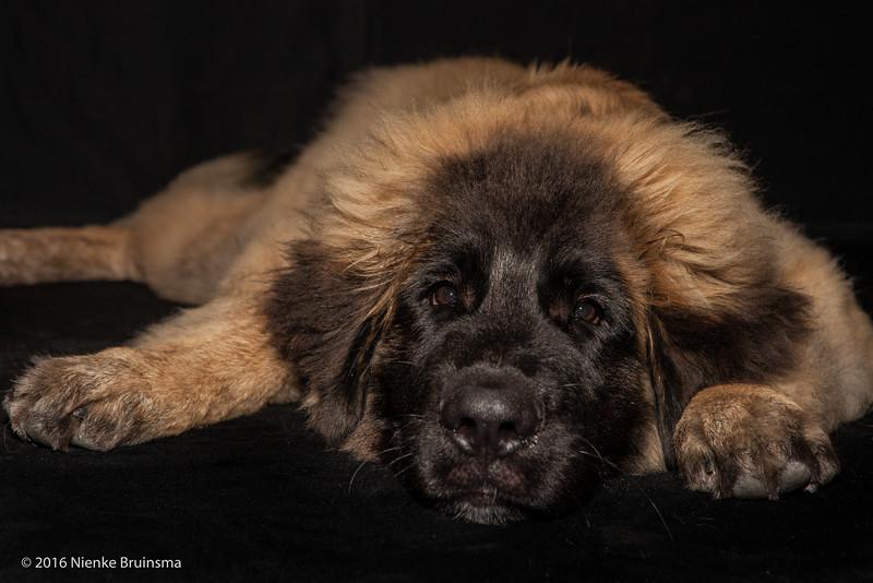 2016 Leonbergers Jonge Honden Dag , Kerkwijk
