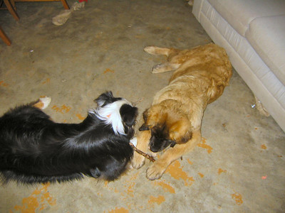 Rider and Sienna sharing a stick.  What sweet puppies!!