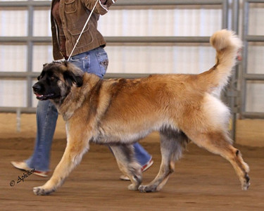 Rory at a ukc show  Fall 2010