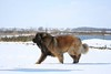 "Enzo born 1-18-2014<br /> <a href=""http://www.leonberger-database.com/lite/pp_pedigree_e.php?id=Iridio%20Di%20Val%20Rovere&gens=5&db=pedigree"">http://www.leonberger-database.com/lite/pp_pedigree_e.php?id=Iridio%20Di%20Val%20Rovere&gens=5&db=pedigree</a>"