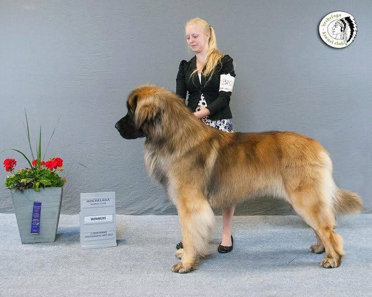 "Enzo (May 2015 is 18mths old)  born 1-18-2014<br /> <a href=""http://www.leonberger-database.com/lite/pp_pedigree_e.php?id=Iridio%20Di%20Val%20Rovere&gens=5&db=pedigree"">http://www.leonberger-database.com/lite/pp_pedigree_e.php?id=Iridio%20Di%20Val%20Rovere&gens=5&db=pedigree</a>"