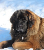 "Rocky (Spanish boy) born 10-16-2013<br /> <a href=""http://www.leonberger-database.com/lite/pp_pedigree_e.php?id=Don%20Ricardo%20de%20Valdelaguila&gens=5&db=pedigree"">http://www.leonberger-database.com/lite/pp_pedigree_e.php?id=Don%20Ricardo%20de%20Valdelaguila&gens=5&db=pedigree</a><br /> Lucie - French ferman and belge : ))) Josee maria the pesident of the spanish club has been keeping me in the news for this liter 2 years ago . i Love this pedegree : )))Kibo the father was soo beautiful and perfect male temperamant Rocky is the same : )))"