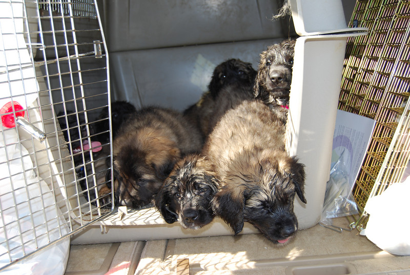 This is all the puppies piled into an 800 series kennel to go for their evaluation.  They got very wet from the water bottle...but oooohhhh soooo cute!