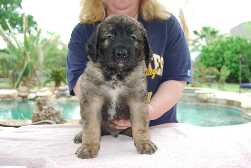 Mr. Blue 6wks...he did so perfect.  very confident sweet puppy!