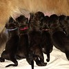 Tipping Point C & Bluebonnet P Litter - 5 males, 1 female (Red is the lone female)