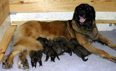 """Vegas with her """"B"""" Litter.  (see """"B"""" litter for more photos)"""