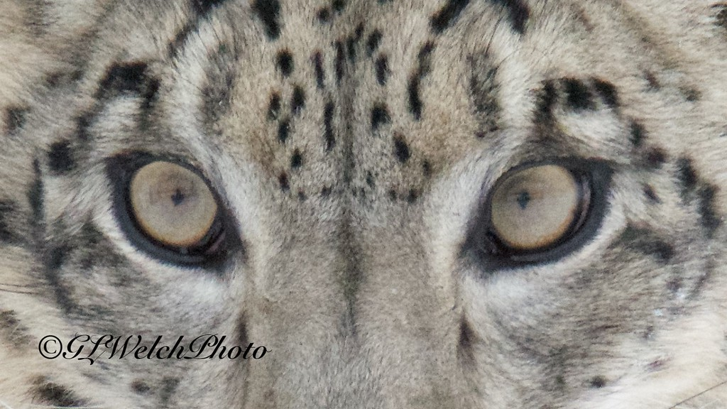 Snow Leopard Eyes