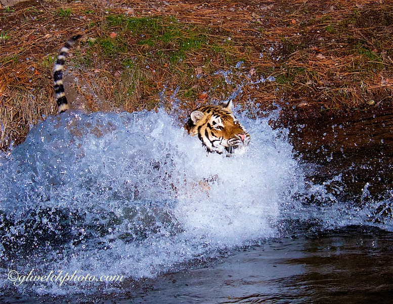 Splashing Tiger