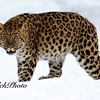 Amur Leopard in Winter