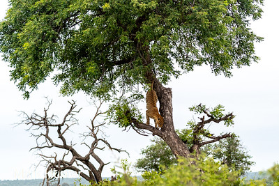 Leopard Descending A Tree