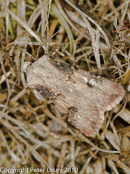 19 Aug 2010 -  Shuttle-shaped Dart (Agrotis puta). Copyright Peter Drury 2010