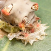 Cup Moth Caterpillar Moult