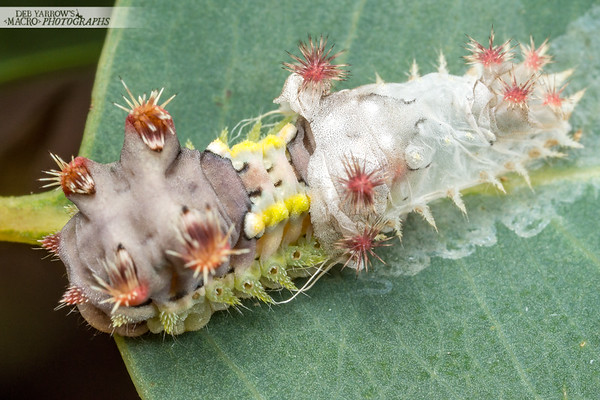 Cup Moth Caterpillar Shedding Skin