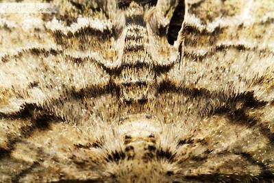 Moth Texture