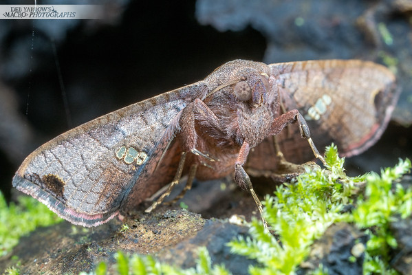 Picture Winged Moth