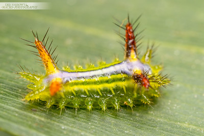 Cup Moth Caterpillar