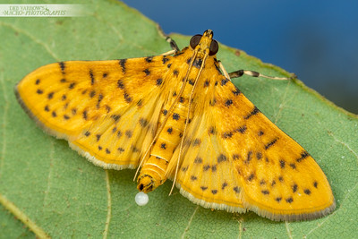 Yellow Peach Moth