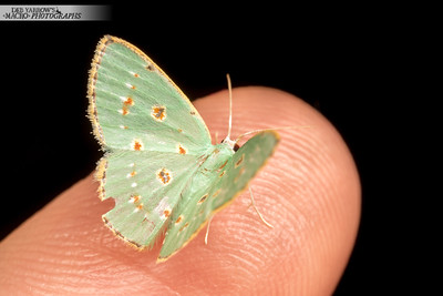 Pale Green Moth