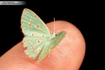 Pale Green Moth