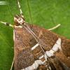 Beach Moth