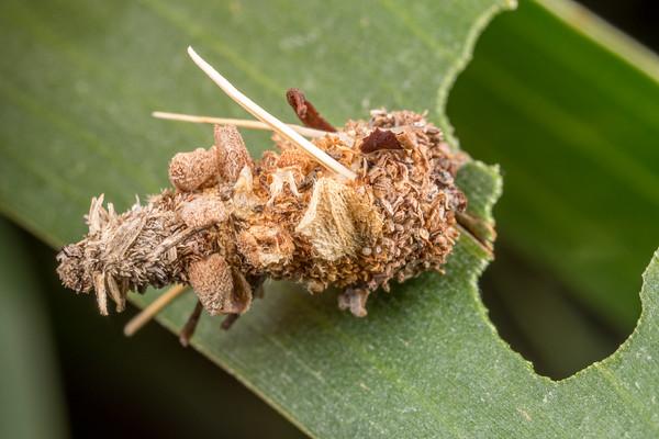 Small Acacia Case Moth II